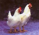Ayam (shio)