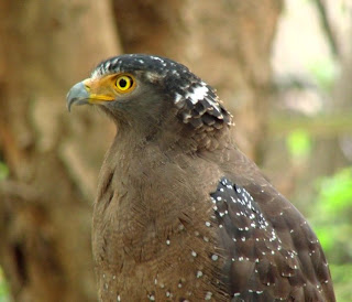 free downloading videos of crested eagles