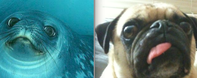 Pug Dressed as Seal The Pug And The Weddell Seal
