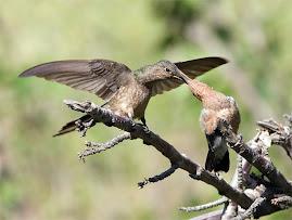Kolibrin: Världens största minsta fågel. Jättekolibri.
