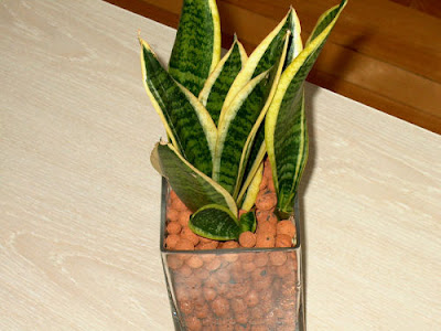 plowing through life want an almost immortal plant get a snake plant. Black Bedroom Furniture Sets. Home Design Ideas
