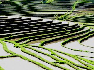 lahan tanaman padi