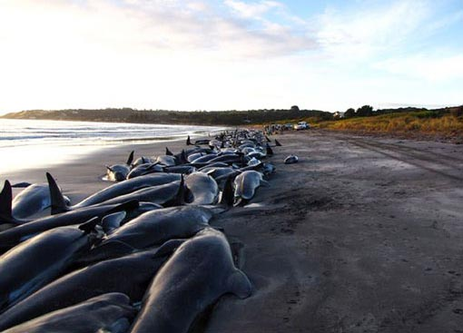 Beached dolphins - photo#19