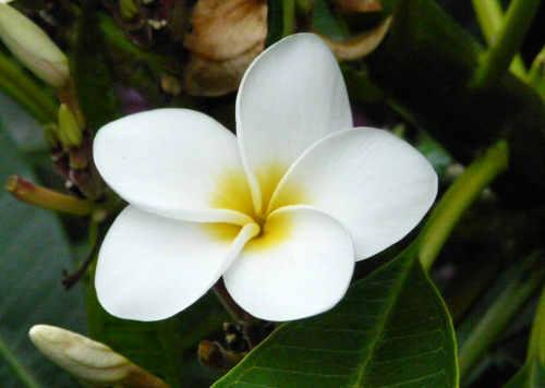 Audrey Allure: Sunday Flowers: Plumeria