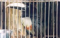 pássaros ameaçados são capturados fora do controle oficial