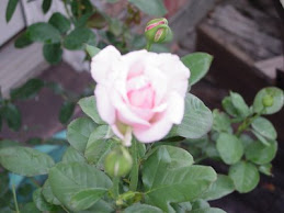 Billy Graham Rose