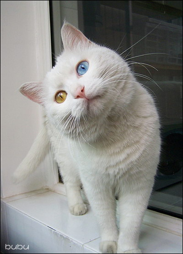 photos of Odd-eyed cat