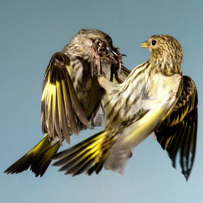 Birds in Mid-Flight Photographed by Roy Hancliff Seen On www.coolpicturegallery.us