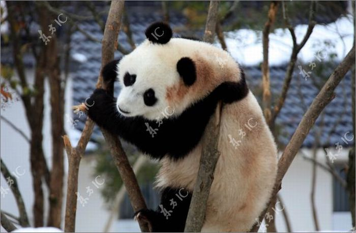 Cool Animals Pictures: Pandas Enjoy Winter in China