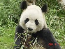 herbivora: PANDA HEWAN HERBIVORA