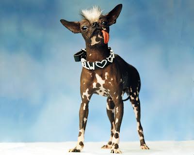 Chien Le Plus Laid jadoremydog: elwood, le chien le plus laid du monde! elwood, the