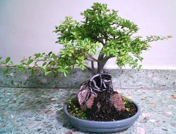 Bonsais alejandro manno bonsai piracanta en piedra - Tierra para bonsais ...