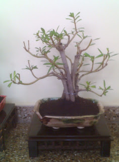 Bonsais alejandro manno bonsai nerium laurel de jardin for Laurel de jardin