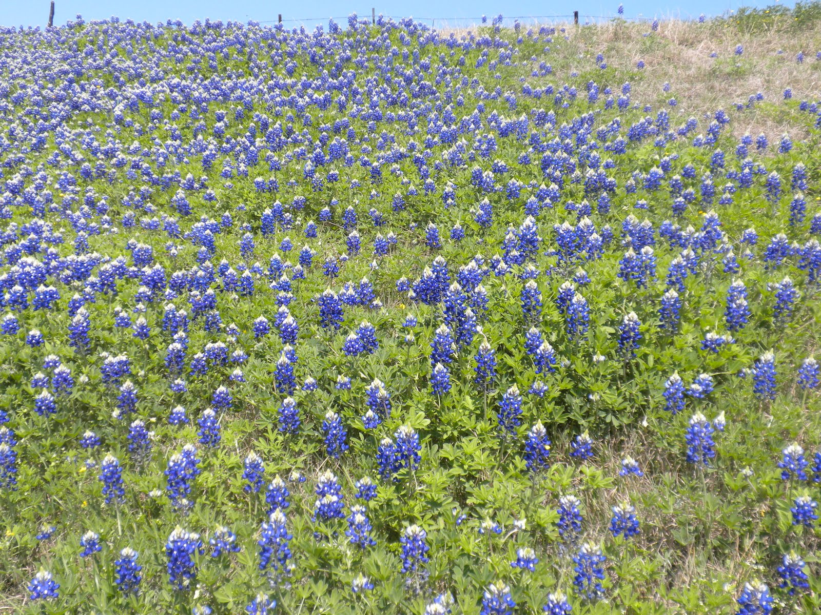 Cowgurl S Blessing Bluebonnet Time In Texas
