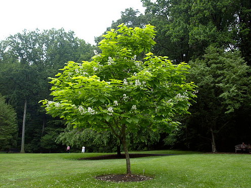 tree identification catalpa bignonioides common catalpa. Black Bedroom Furniture Sets. Home Design Ideas