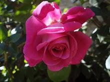 Rosa de Sant llorenç de la Muga