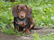 In this corner, Luna, an Isabella and Tan miniature dachshund puppy weighing .