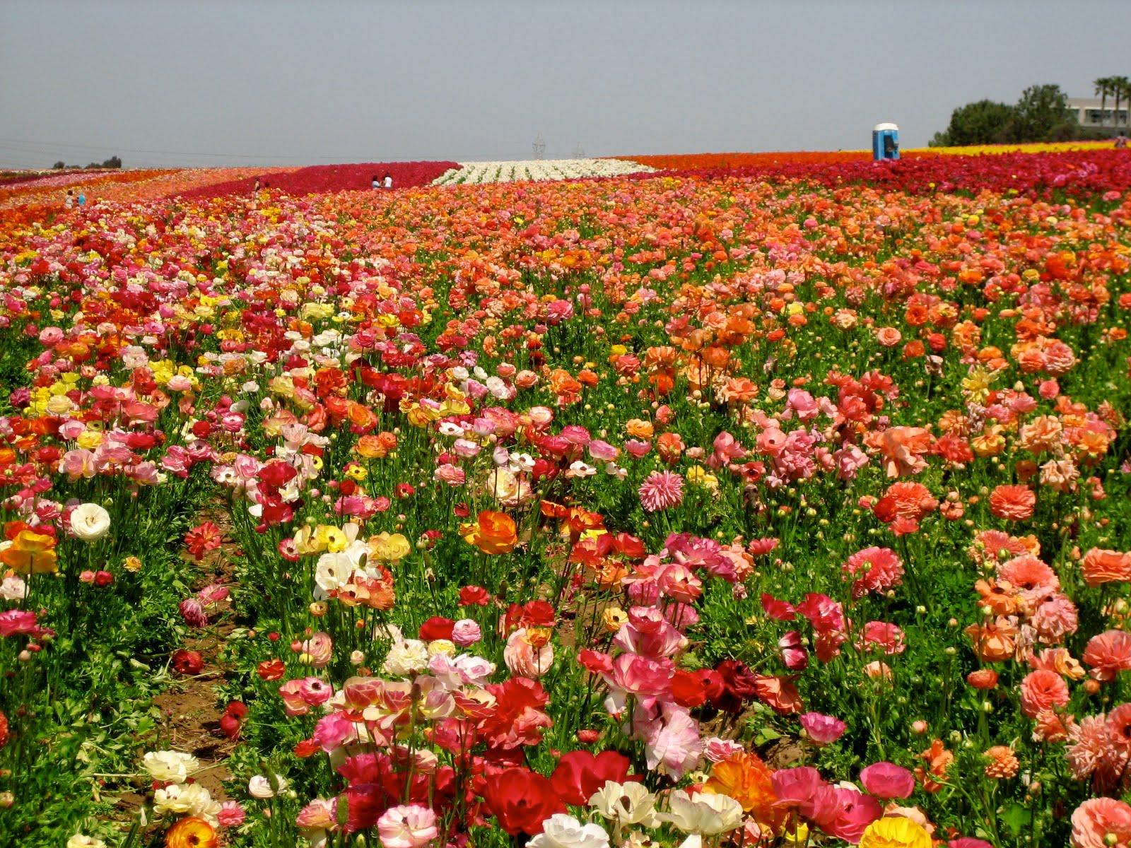 rendering grace Carlsbad Flower Fields