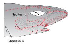 Electroceptie in haaien