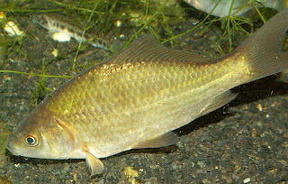 Wild Goldfish - Prussian carp