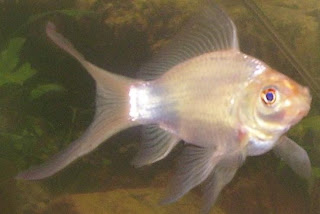 White Comet Goldfish