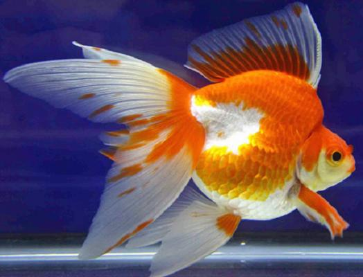 Goldfish care types pictures diseases and treatment for White fish types