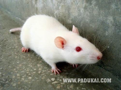 White rat with black eyes - photo#14