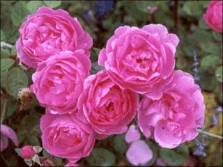 Beautiful pink Rose pictures