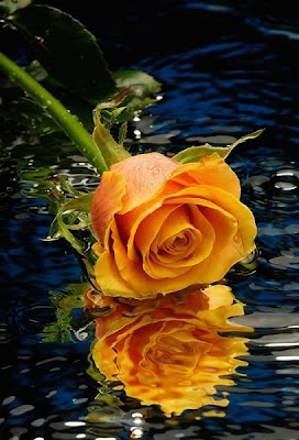 A Single orange rose image
