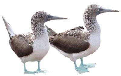 Pair duck stills