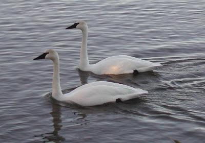 Lovely pair trumpeter birds photos