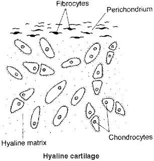 Cartilage Types Ahyaline Cartilage