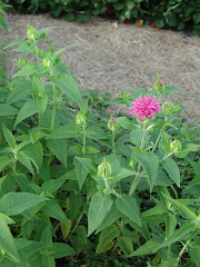 ah, the Bee Balm blooms