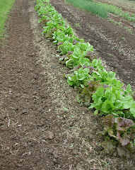 Mmmm...fall lettuce