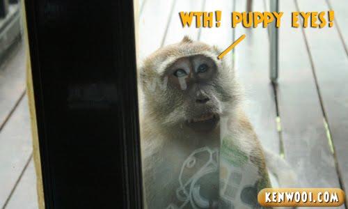 berjaya langkawi monkey eyes