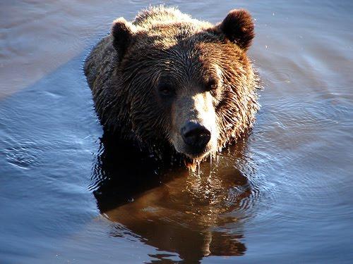 free osos maduros