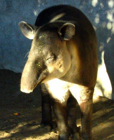 Binatang atau hewan aneh di dunia yang kedua Babi Alu