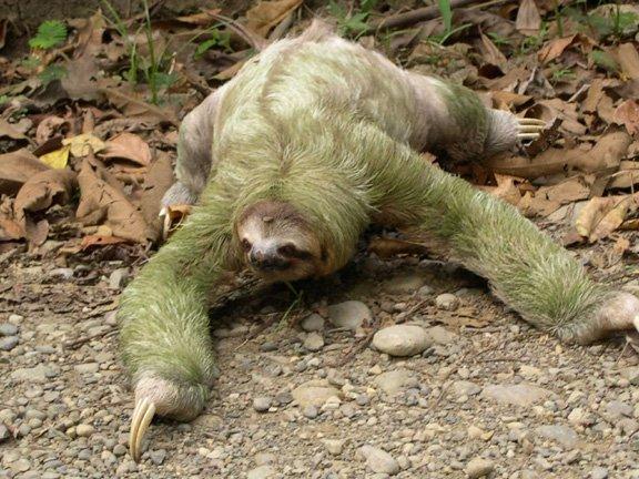 Sloth Funny Animal