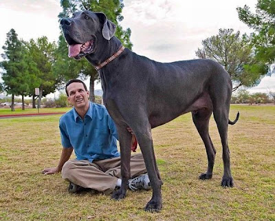 Meet Giant George, the World's Tallest Dog