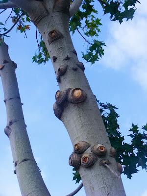 древесные глаза