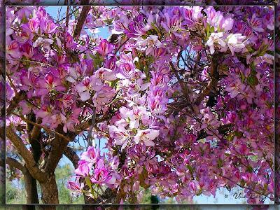 баухиния, орхидейное дерево