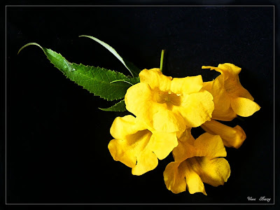 жёлтые цветы на чёрном фоне