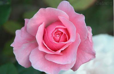 http://3.bp.blogspot.com/_G5Q5MXhI3ZY/S2zj7RUXPyI/AAAAAAAAb50/iQ1CmSErfwQ/s400/rosas+de+gurudeva.jpg