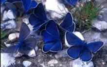 Alguna vez, he sido una mariposa azul...