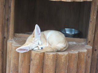 fennec fox, smallest of foxes