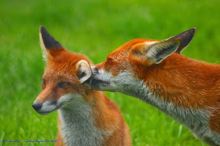 reddish foxes, red fox