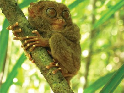 Pygmy Tarsier Look Like Furbys