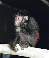 Le singe Uakari. Image Italo Mourthe.