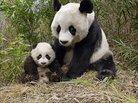 Le panda géant. Document Giant-panda.com.