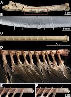 Vue dorsale de l'ulna (avant-bras) droit du fossile de vélociraptor IGM 100/981. Document A.Turner et al.